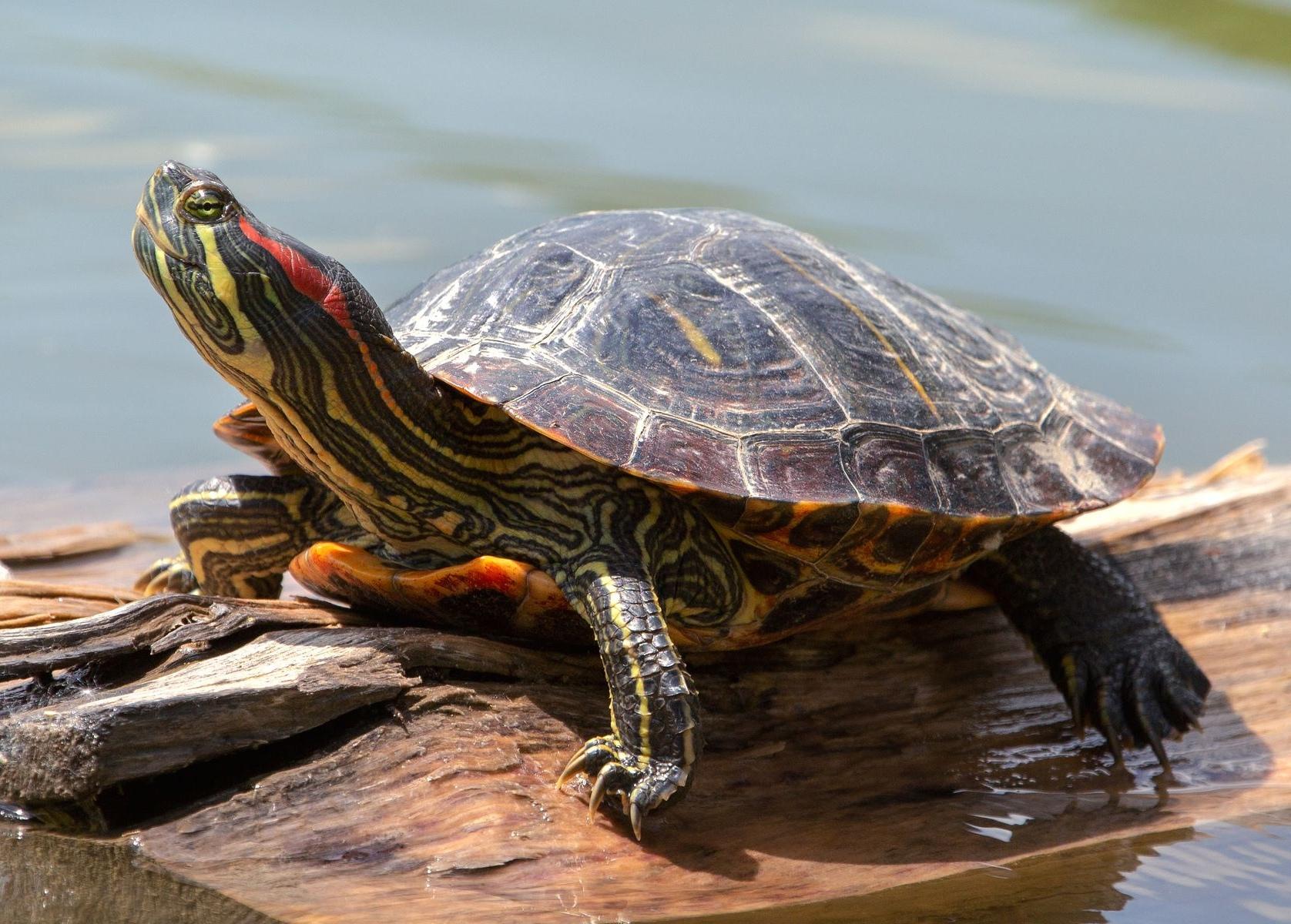 """Красноухая черепаха - недешёвая """"игрушка""""."""